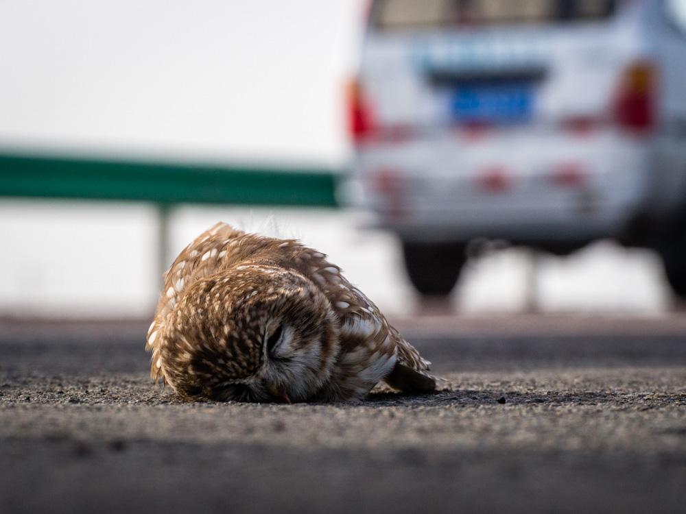 躺在路上的貓頭鷹