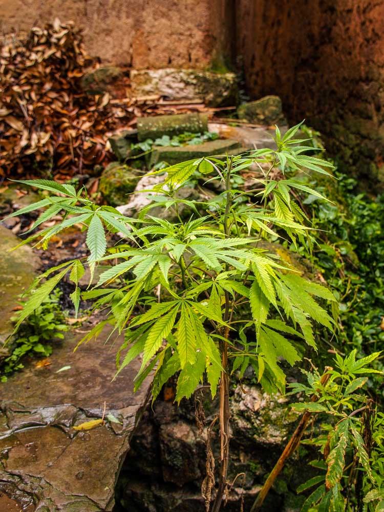 野生大麻就長在路邊