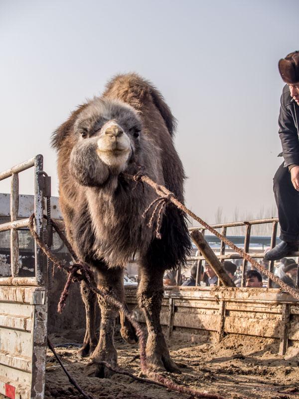 看起來很囂張的駱駝