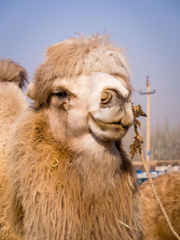 一臉囂張的駱駝